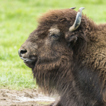 Portrait de bison